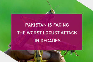 Pakistan Is Facing The Worst Locust Attack In Decades
